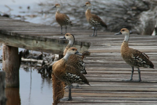 a couple of West Indian Whistling Ducks chillin on the dock in the lake
