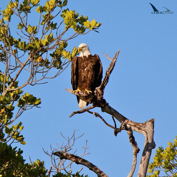 eagle-1s