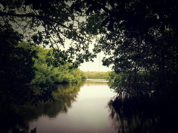 mangrovespond